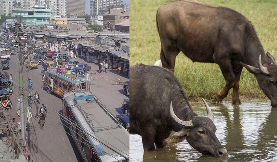 Autobusy BRT w Karaczi będą jeździły na… krowią kupę