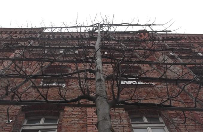"""Łódź: """"Prostokątne"""" drzewa na Gdańskiej"""