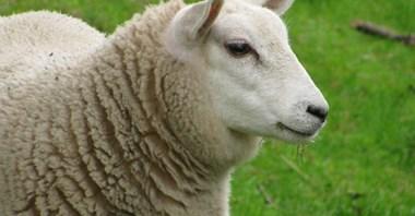 """Lotnisko """"zatrudniło"""" owce do koszenia trawy"""
