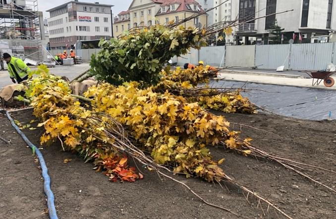 Warszawa. Metro na Woli sadzi klony, wiśnie i jarzęby