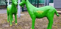 Zielone koziołki atrakcją poznańskich zajezdni